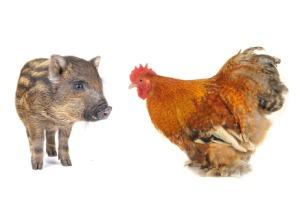 インフルエンザは人間だけの病気ではない。鳥類や豚にも感染する!