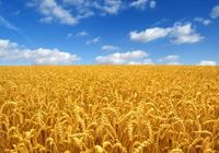 大腸がん、生活習慣病の予防、ダイエットに欠かせない食物繊維を、人類は紀元前6000年から食べていた!