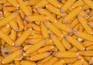 「遺伝子組み換えで農薬が減る」はウソ? 除草剤の発がん性が新たな脅威に