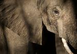 ゾウががんに罹りにくい理由が判明! 腫瘍抑制因子がヒトの20倍!