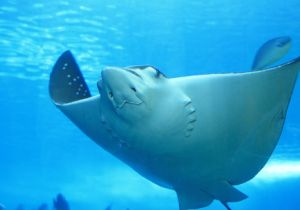 人間の指は魚のエラの進化の産物?〜エイとヒトに同じ遺伝子「ソニック・ヘッジホッグ」が!