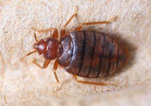 殺虫剤がきかない「南京虫(トコジラミ)」の被害が拡大〜欧米ではホテルの休業騒ぎ