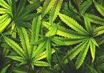 日本は大麻に対する理解が遅れている! 「大麻=薬物乱用=悪」という思考停止の呪縛からの解放を