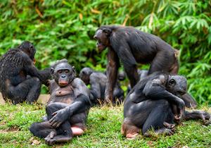 人間以外の動物も「老眼」になるのか? 野生の猿(ボノボ)にも40歳前後で遠視の症状が!