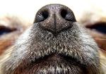 嗅診って何? 息を嗅げば病気の正体がわかる! がんを嗅ぎ分ける探知犬も活躍