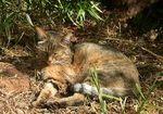 DNA鑑定で「飼いネコ」の祖先が判明! 約6000年前にネズミ退治した「リビアヤマネコ」