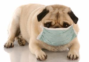 米国でイヌの「インフルエンザ」が大流行! ただし、ヒトへの感染は心配なし