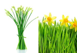 きれいな花には毒がある!「ニラ」と間違えて「スイセン」を食べて食中毒による死亡例も!