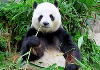 人間とパンダの食の進化は真逆? 本来は「食べていなかった」ものが主食になった