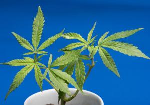 今度は田口&小嶺が逮捕、医療用大麻への誤解と悪影響はないか?