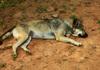 「狂犬病」発症後の死亡率はほぼ100% 発生地域への渡航の際は予防接種を