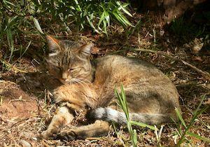 DNA鑑定で「飼いネコ」の祖先が判明! 約6000年前にネズミ退治した「リビアヤマネコ」の画像1