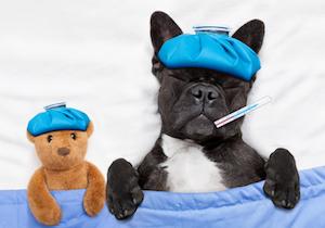 イヌにもインフルエンザの流行が……愛犬のインフル感染が飼い主にも?の画像1