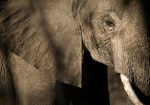 ゾウは「がん」に罹りにくい? 腫瘍抑制因子がヒトの20倍!の画像1
