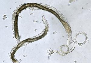 線虫でがんを早期発見は、第2のSTAP細胞騒動にならないか!?の画像1